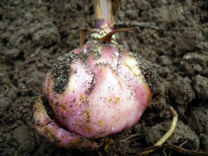 Защитить луковицы лилии перед посадкой