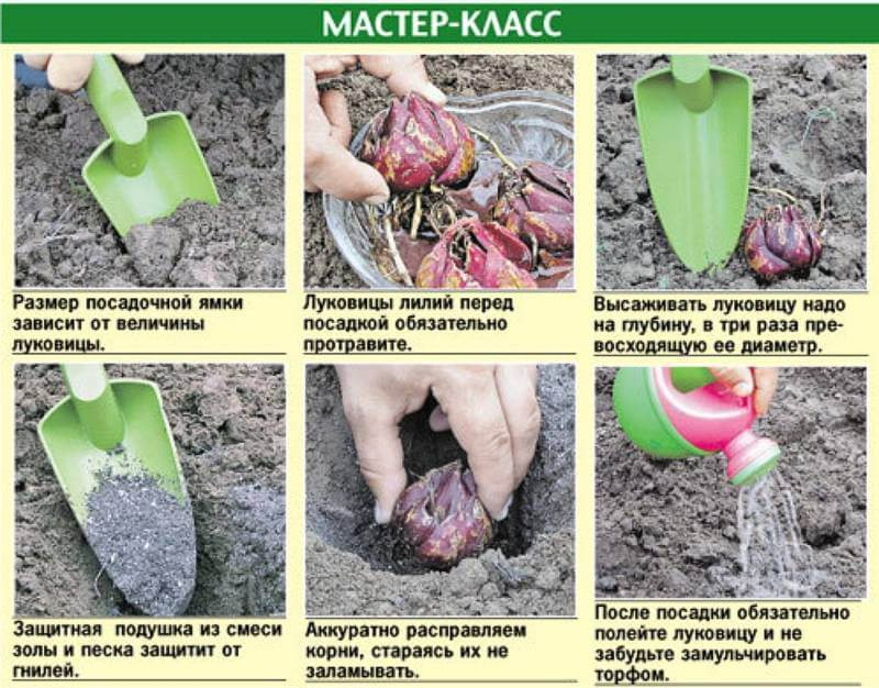Порядок посадки лилий весной в грунт