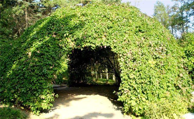 Зеленая беседка, увитая лианами дикого винограда