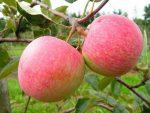 Посадка саженца яблони весной: как это сделать правильно?