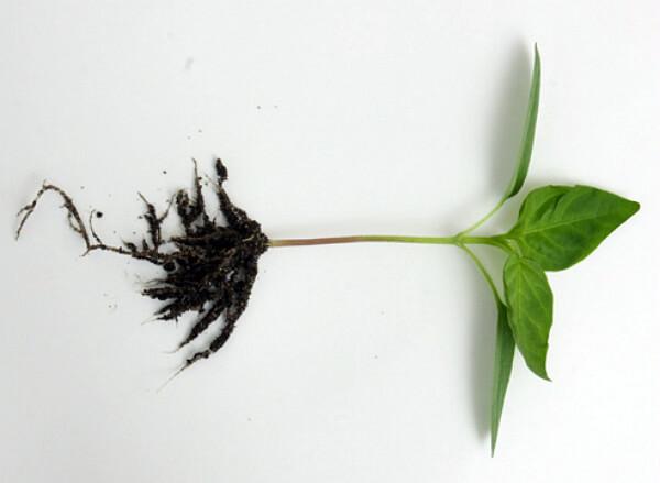 рассада перца, выращивание, сеянец перца в стадии двух настоящих листочков