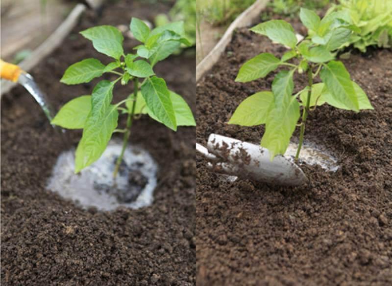 как высаживать перец в грунт