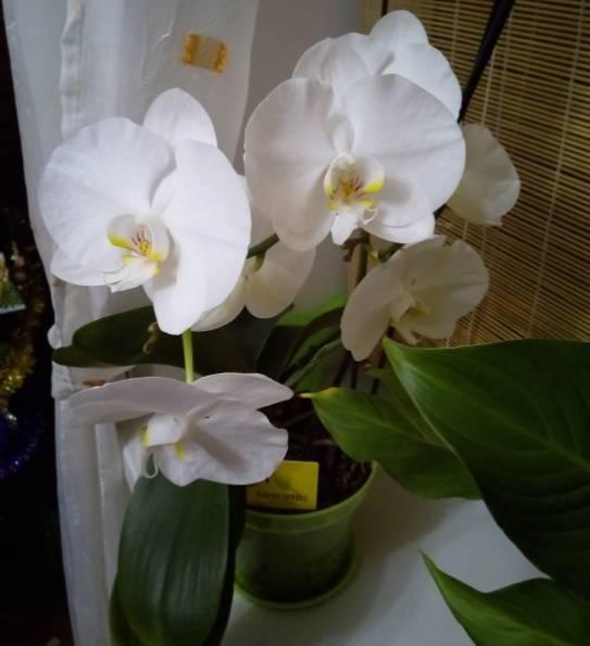 Когда поливать орхидеи