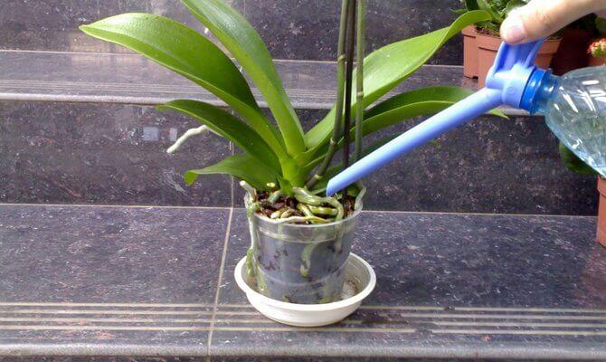 Полив орхидеи на поверхность субстрата