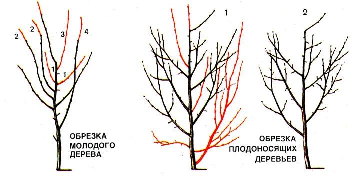 обрезка сливы весной и осенью