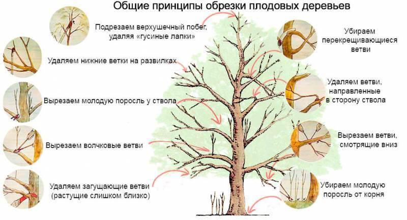 Общие принципы обрезки плодовых деревьев