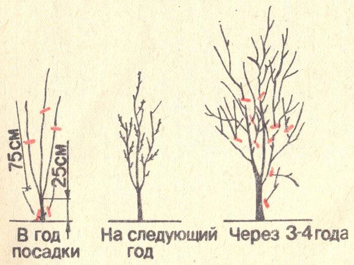 Схема обрезки сливы весной