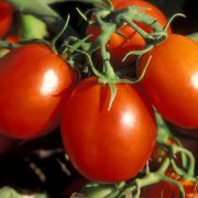 6 шагов к получению богатого урожая томатов