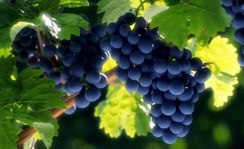 Правильная обрезка винограда