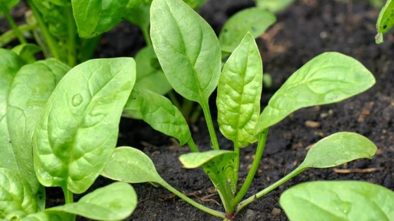 Как вырастить полезный и вкусный шпинат