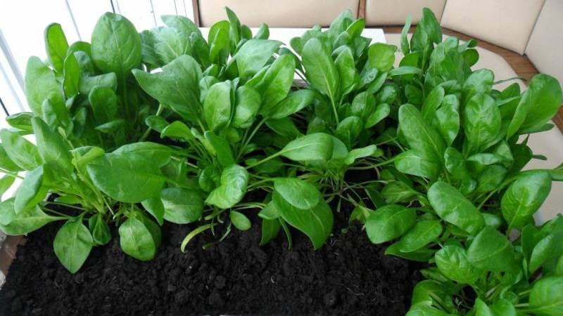 Почва для выращивания шпината