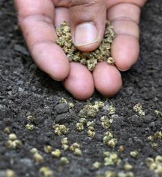 посадка шпината семенами в открытый грунт