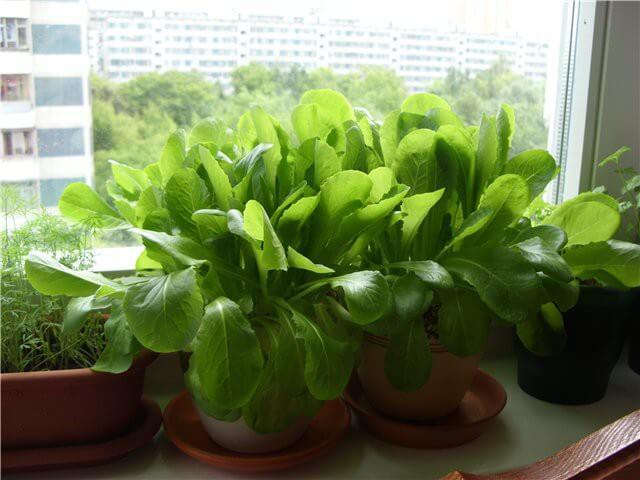 Шпинат выращивание из семян на подоконнике