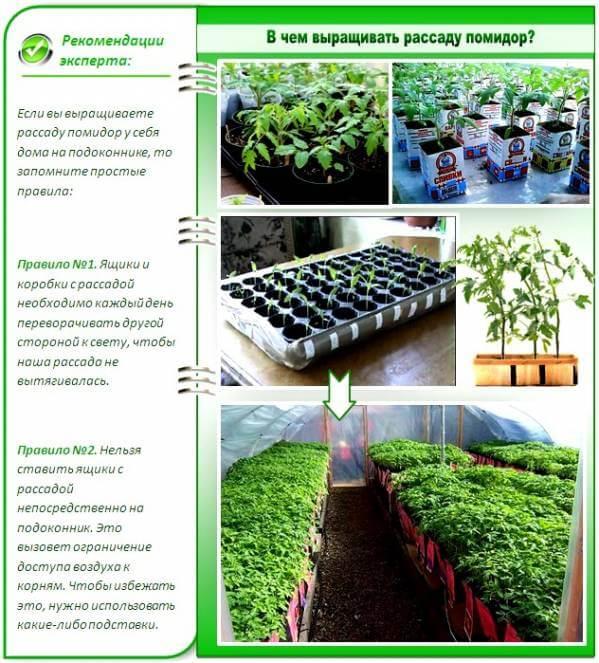 В чем выращивать рассаду помидор