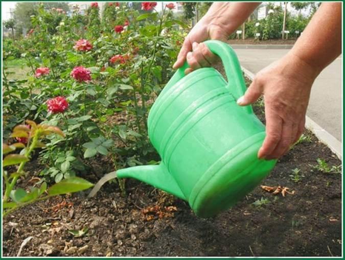 Как удобрять розы в саду летом