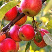 Опыт разведения яблонь и слив