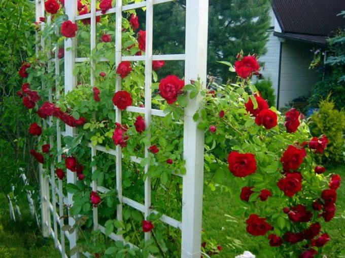 шпалера для плетистых роз