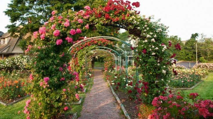 Арки из плетистых роз