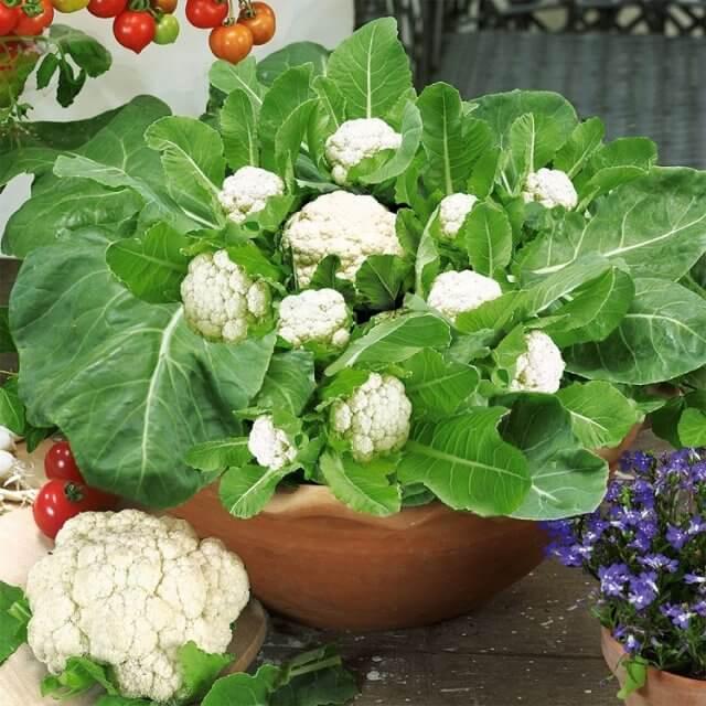 Выращивание цветной капусты у себя на даче