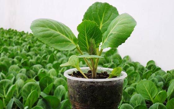 Цветная капуста - почва, посев семян, выращивание рассады