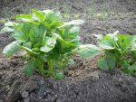 4 способа посадки картофеля: выбери лучший