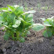 4 способа посадки картофеля
