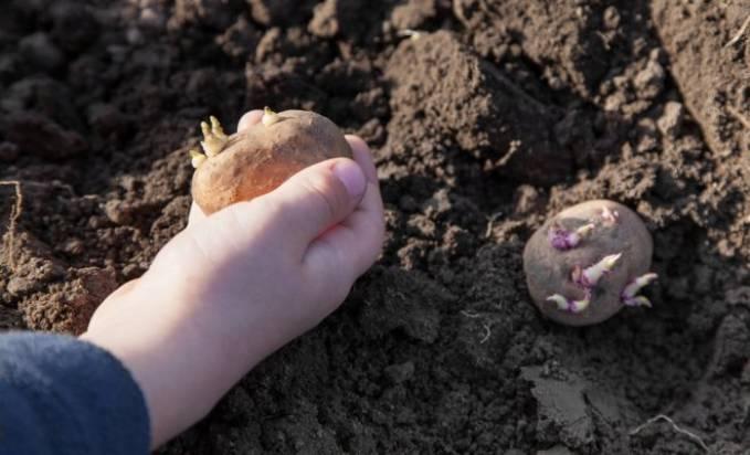 Надо или не надо резать картошку перед посадкой?
