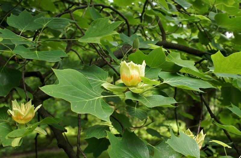 Лириодендрон тюльпановидный