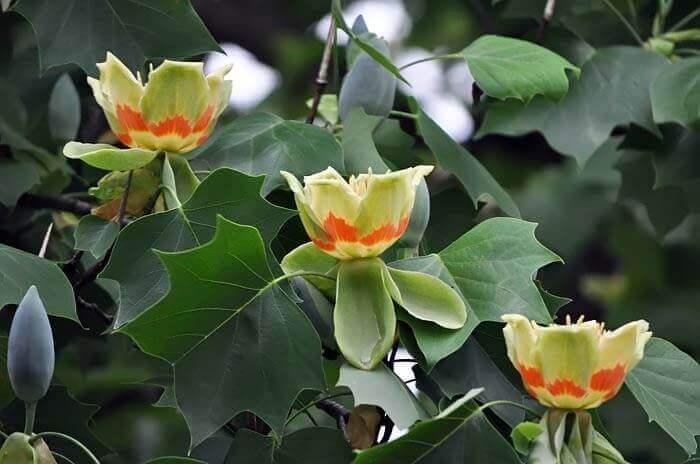 Как вырастить тюльпанное дерево