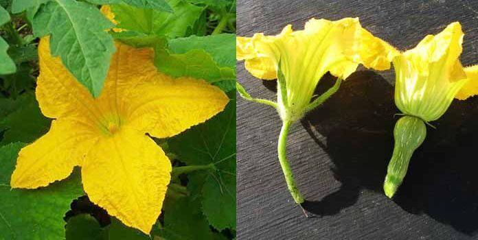 Причины появления пустоцвета на кабачках