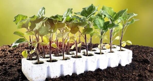 выращивания баклажан в теплицах из поликарбоната