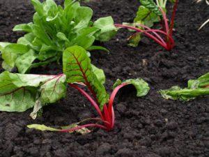 Как правильно выращивать мангольд из семян