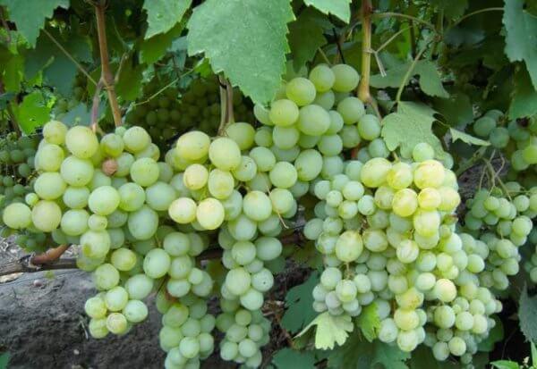 Уход за сортом винограда Кеша