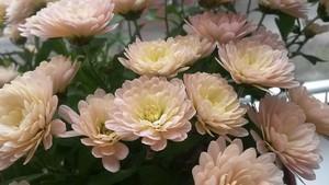 Корейская хризантема – посадка, уход