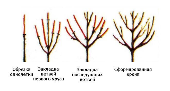 Схема обрезки черешни