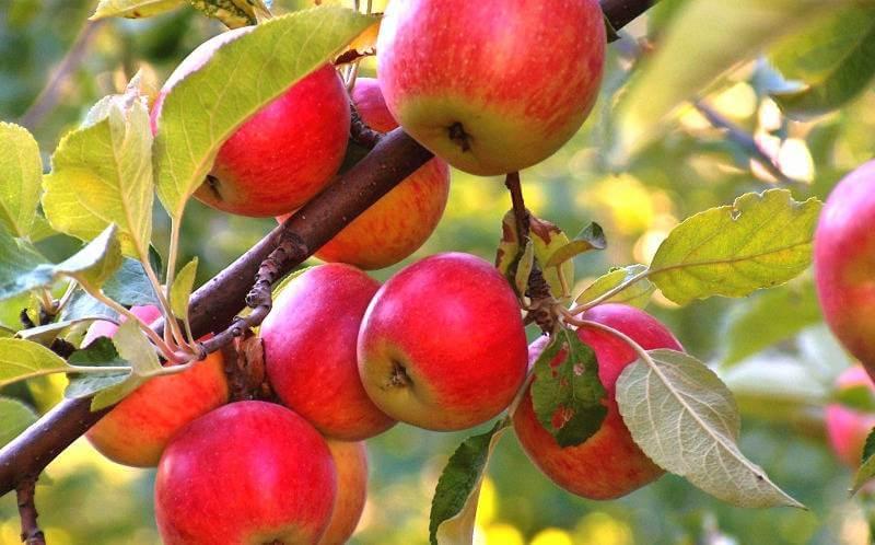 Яблони-экстремалы