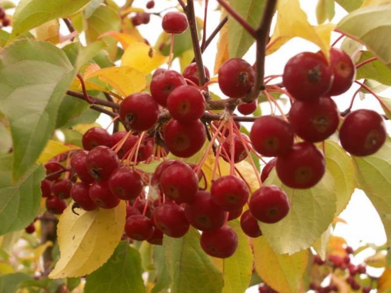 Сибирская ягодная яблоня