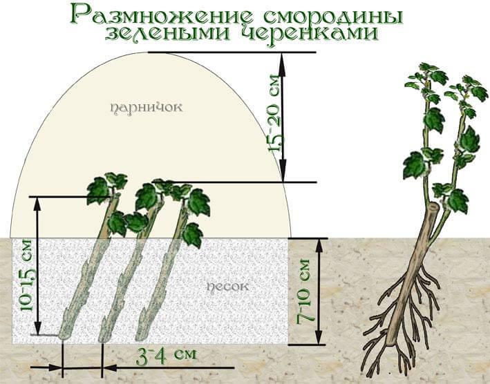 Размножение смородины зелёными черенками