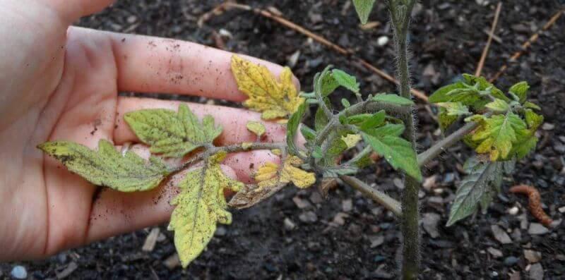 Почему пожелтели листья у томатов