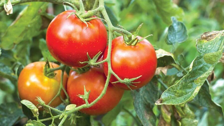 Почему пожелтели листья у помидоров