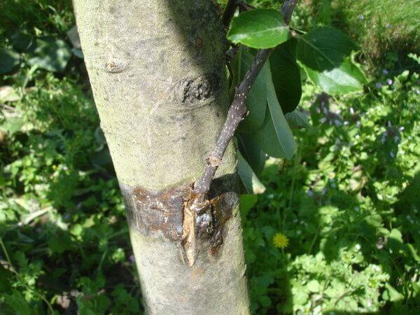 Способы летней прививки плодовых деревьев
