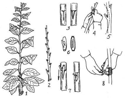 Прививка плодовых деревьев окулировкой