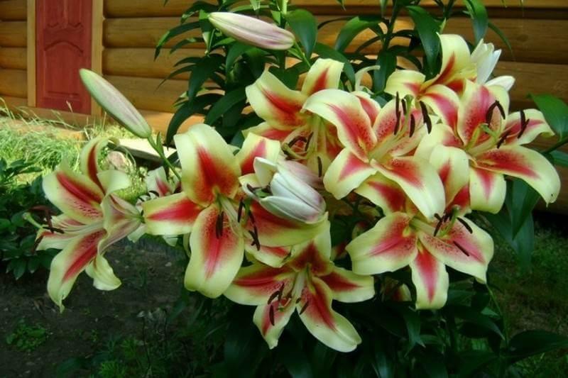 Как правильно подкармливать лилии весной