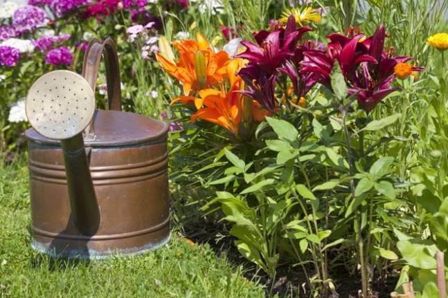 Как подкармливать лилии летом