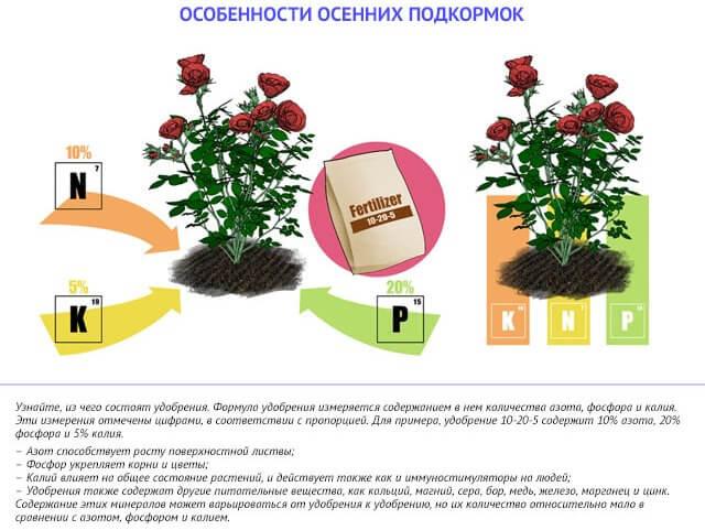 Чем кормить розы осенью
