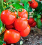 Удачные томаты: хитрости выращивания