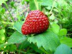 Как вырастить землянику из семян используя торфяные таблетки