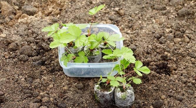 выращивания рассады земляники торфяные таблетки