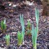 Посадка нарциссов весной: можно ли сажать, как и когда сажать