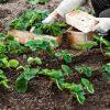 4 способа посадки клубники на небольшом участке